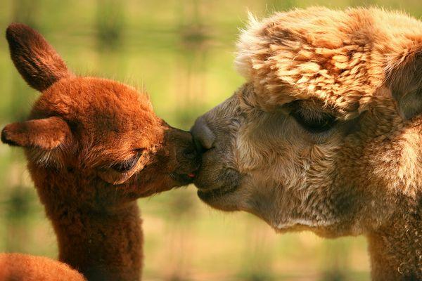 alpacas-kiss_32031_600x450.jpg